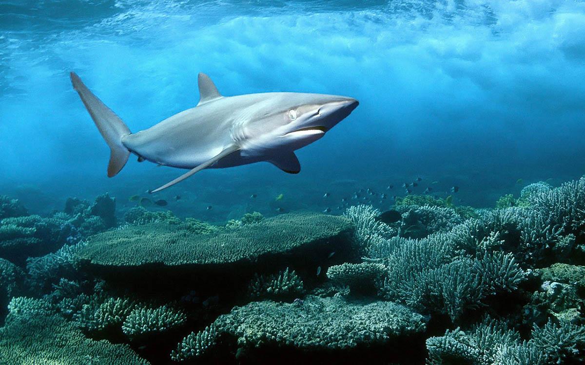 Shark, Red Sea, Egypt