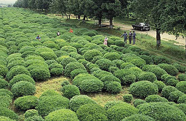 чайные плантации, Ленкорань, Азербайджан