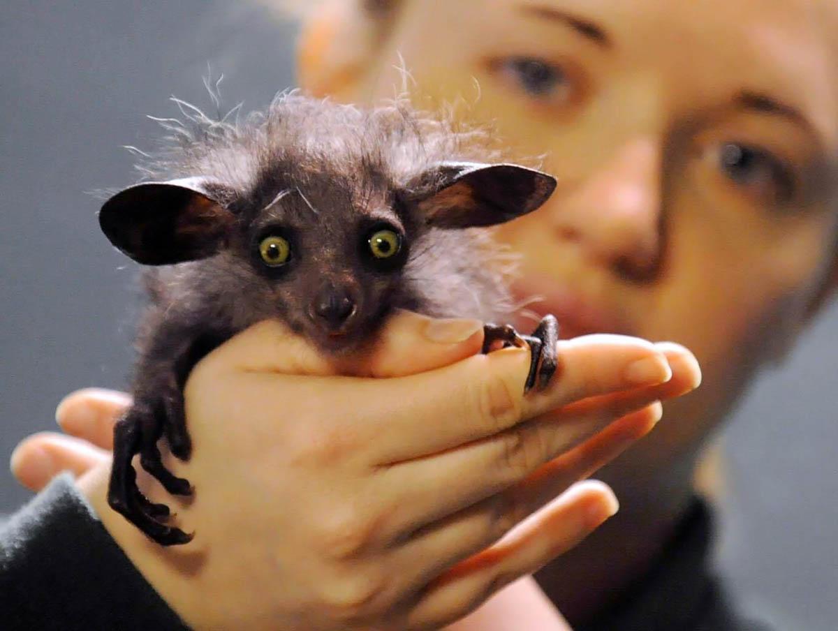 Мадагаскарская руконожка ай-ай – забавное млекопитающее из ...