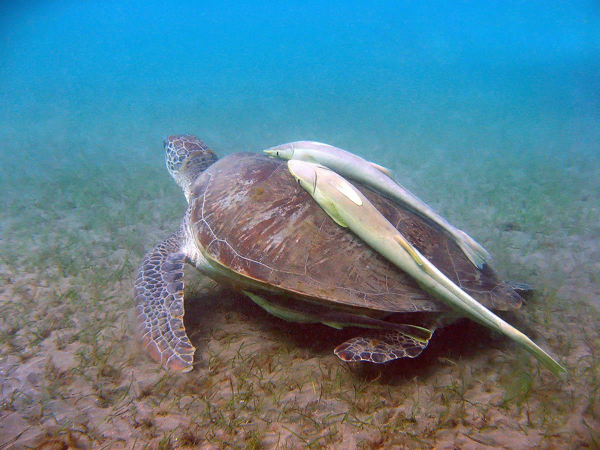 черепаха и рыбы-прилипалы в бухте Абу Даббаб