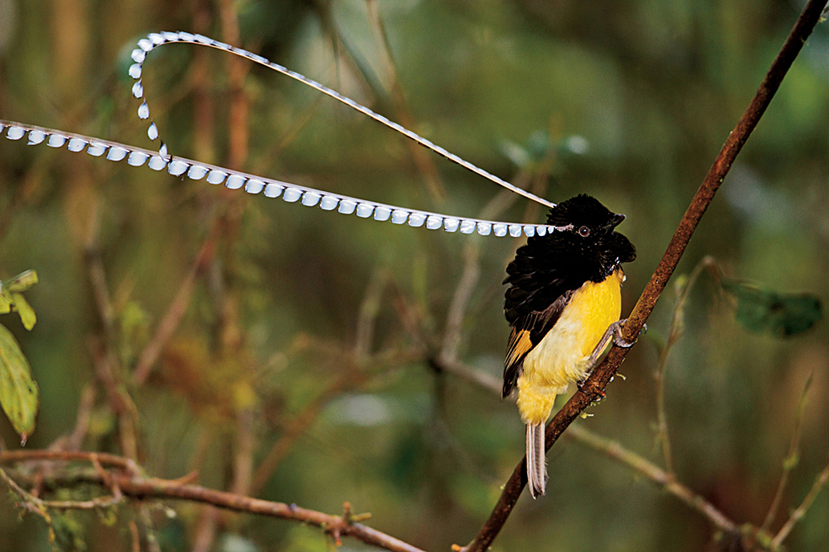 Birds of Paradise Pressroom
