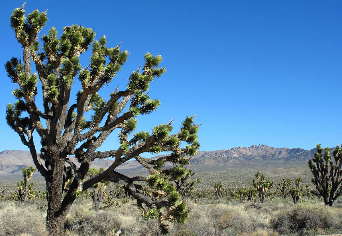 пустыня Мохаве, нацпарк Джошуа-Три, США