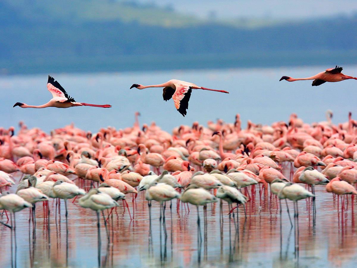 Flamingos Lake Nakuru Kenya