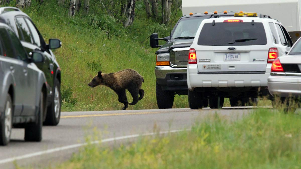 медведь перебегает дорогу