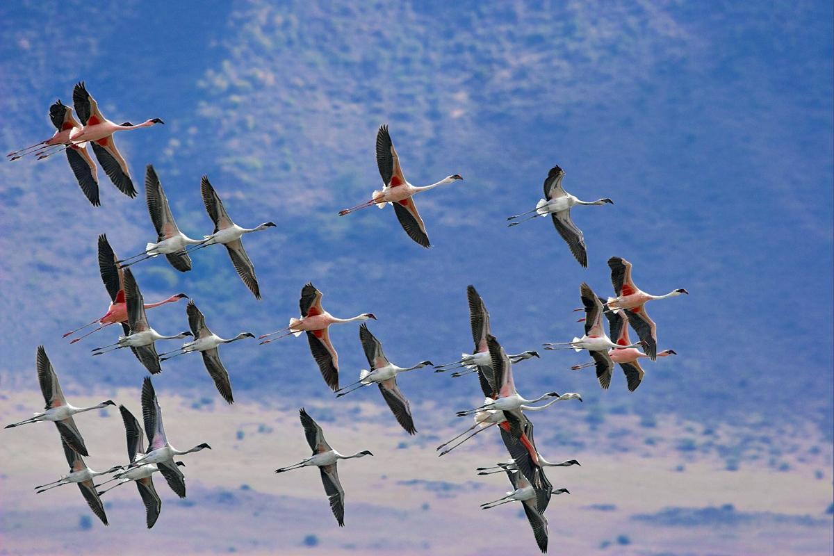 розовые фламинго в полете
