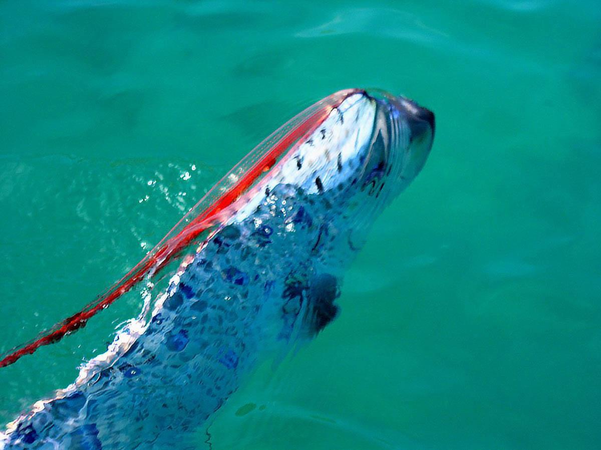 рыба сельдяной король