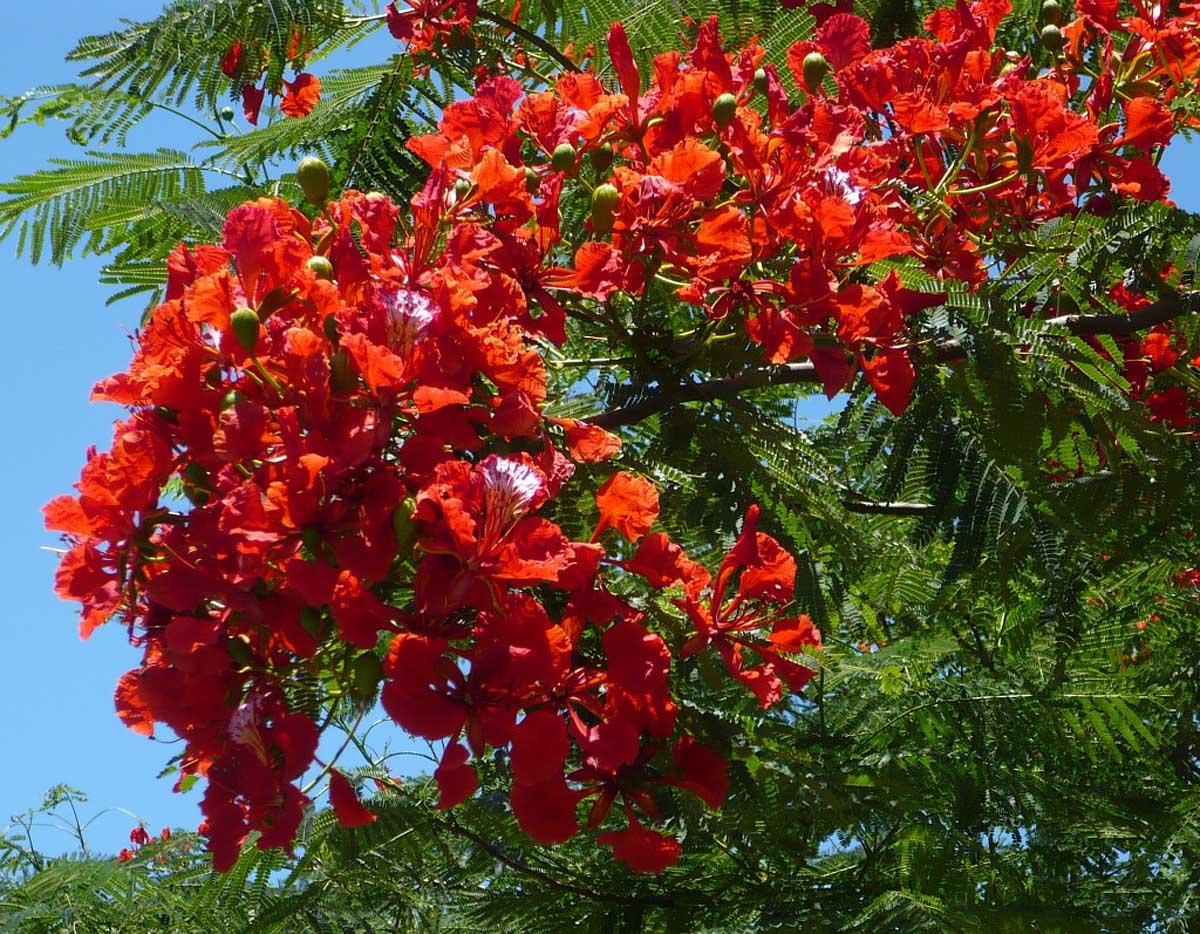 цветение делоникса