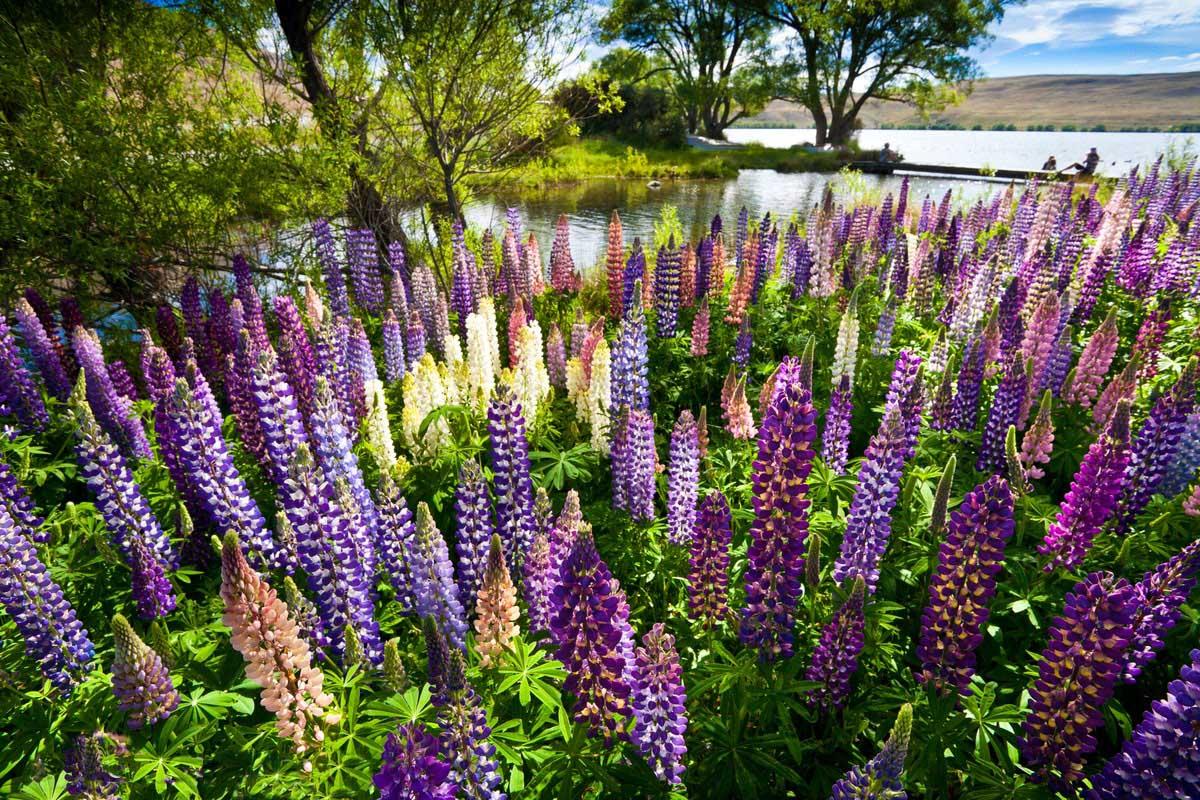 Lupinus polyphyllus, Tekapo lake, New Zealand