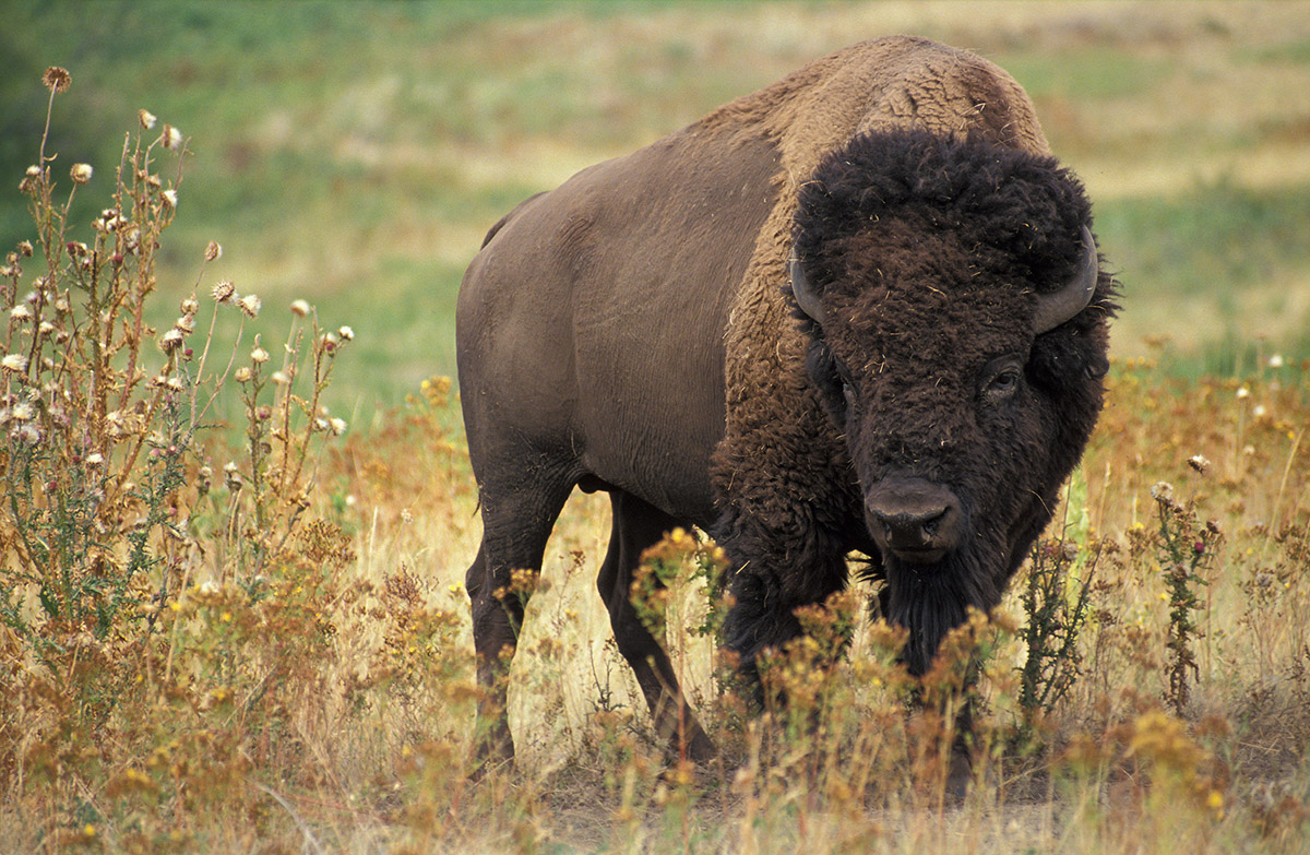 буйвол в нацпарке Земля леопарда