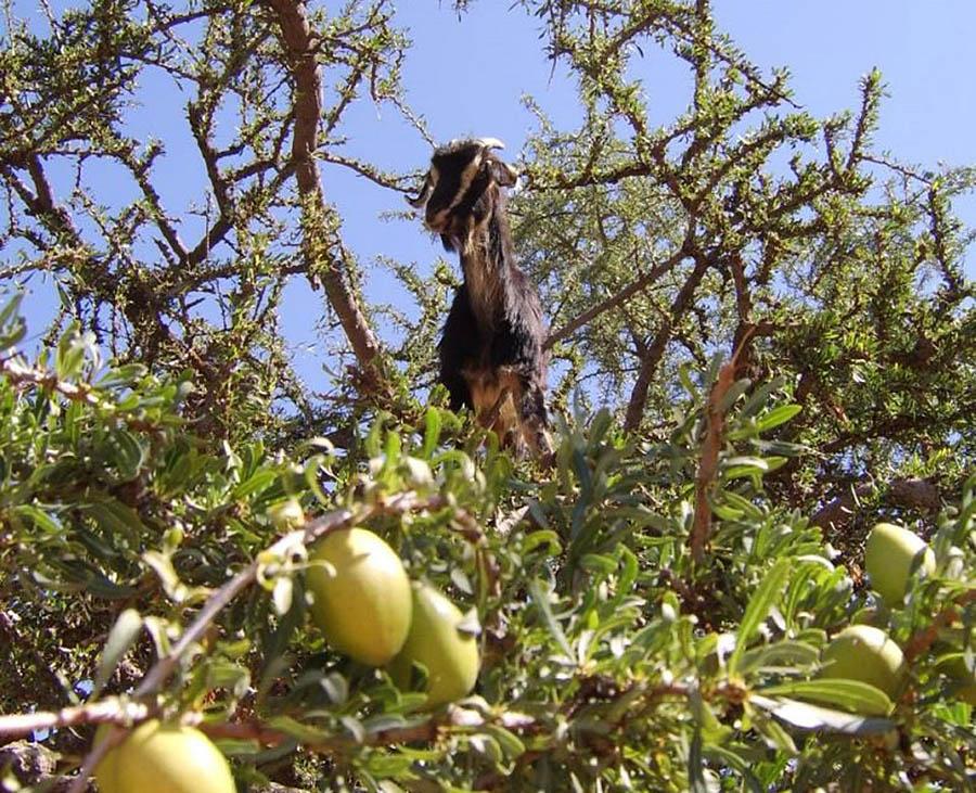 коза на дереве аргании с плодами