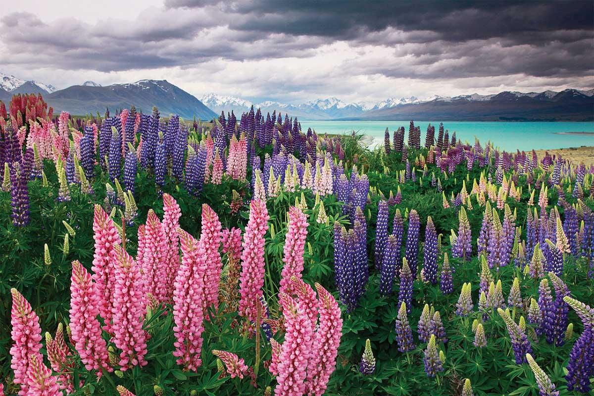 люпины на озере Текапо, Новая Зеландия