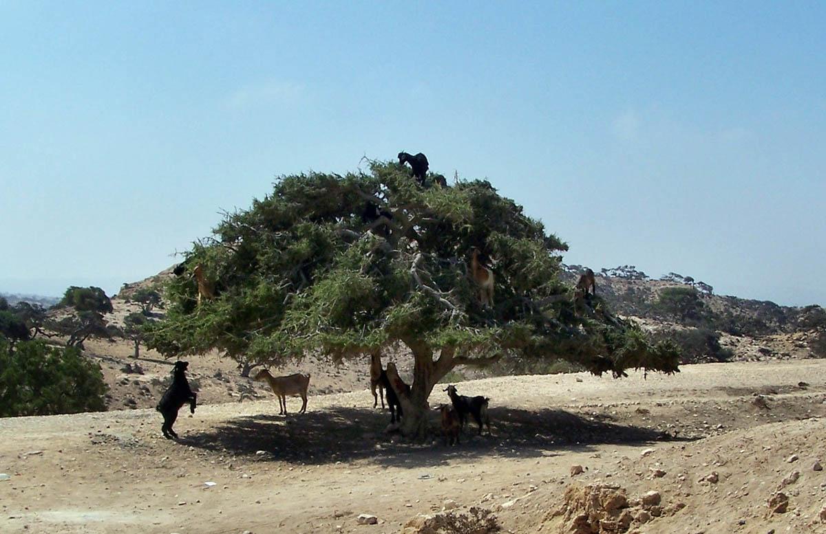 марокканские козы на дереве аргании