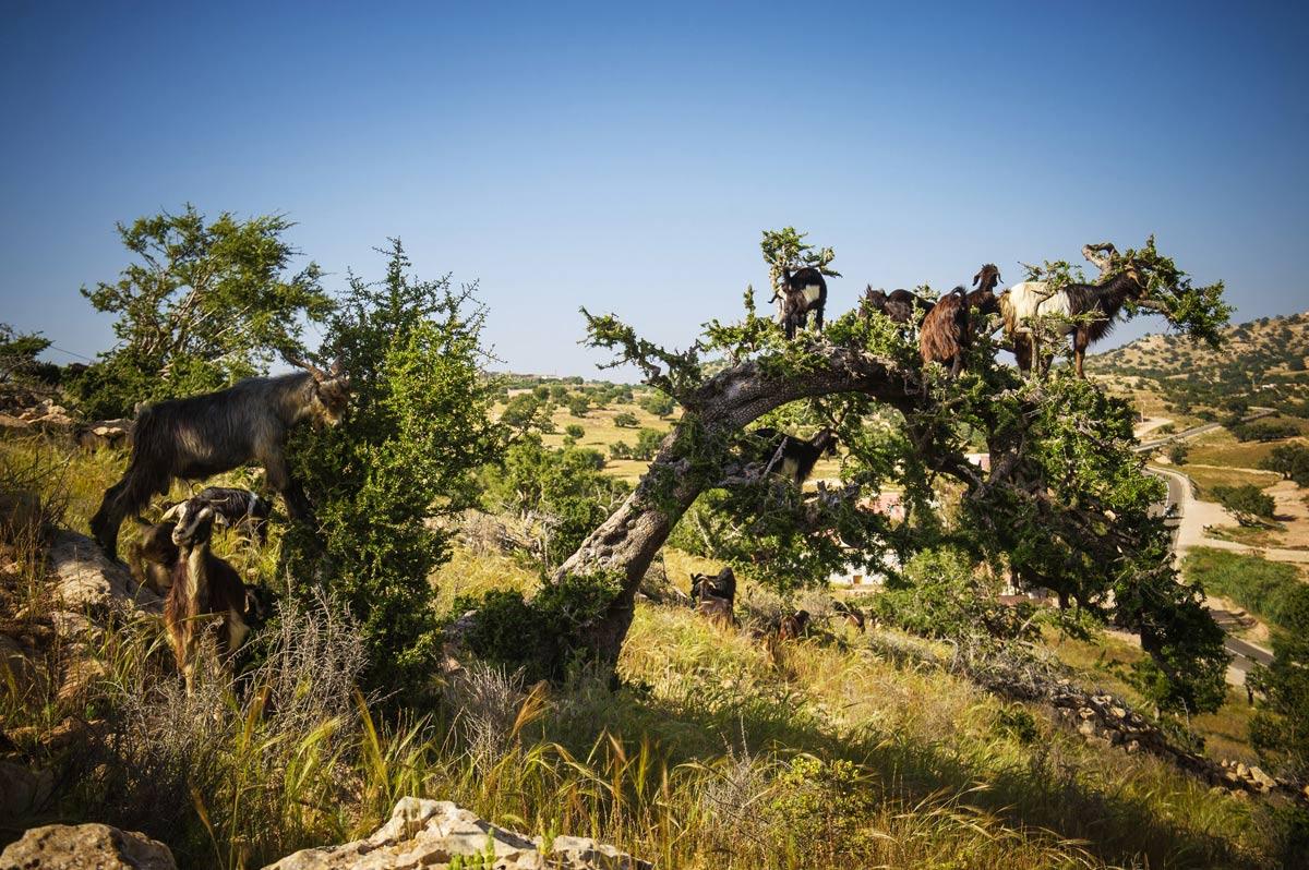марокканские козы на дереве
