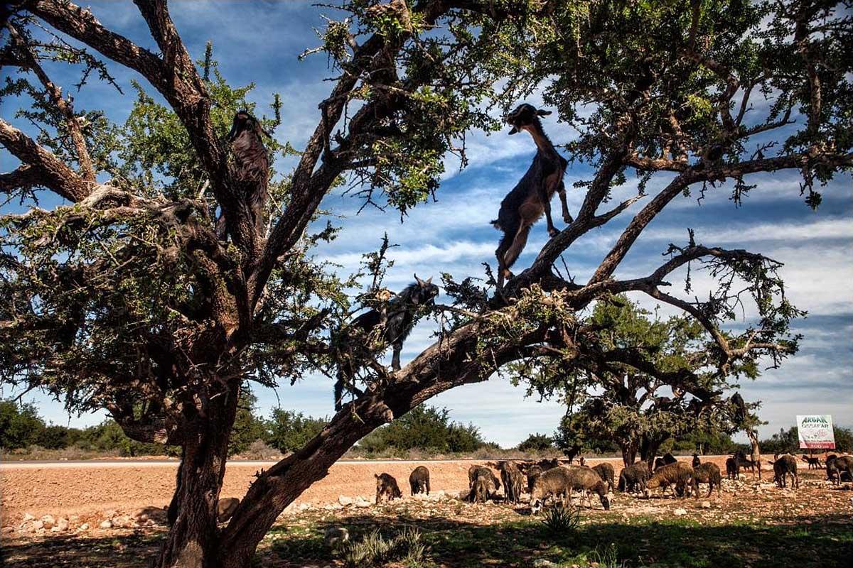 марокканские козы