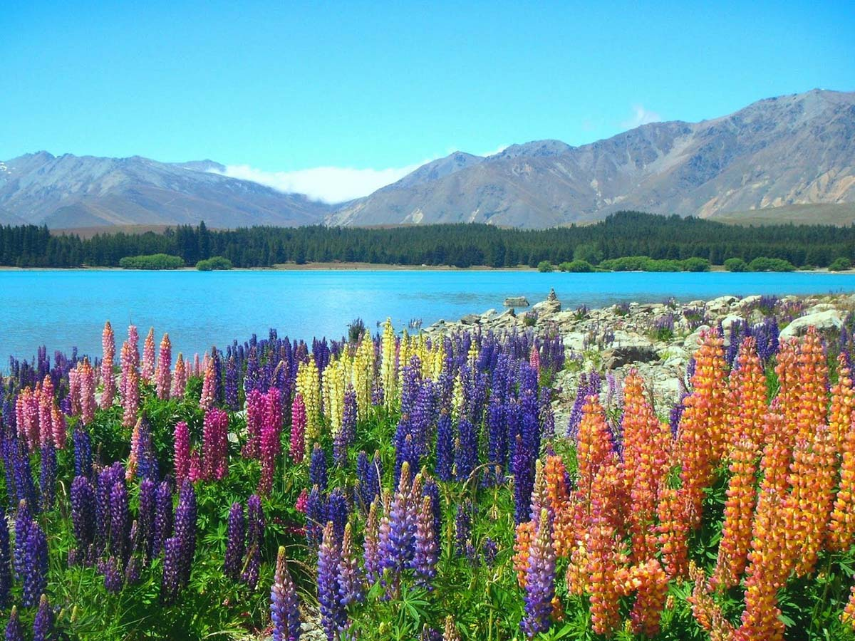 цветение люпинов на озере Текапо, Новая Зеландия