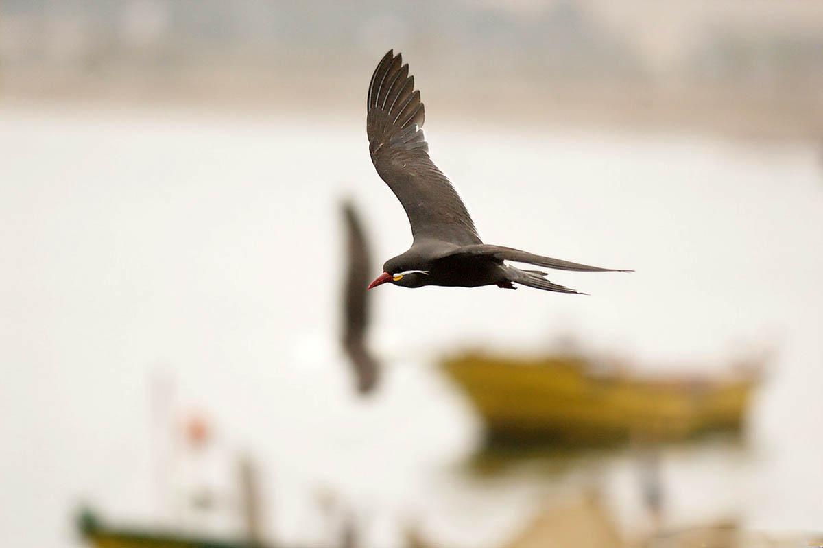 южно-американская птица крачка-инка