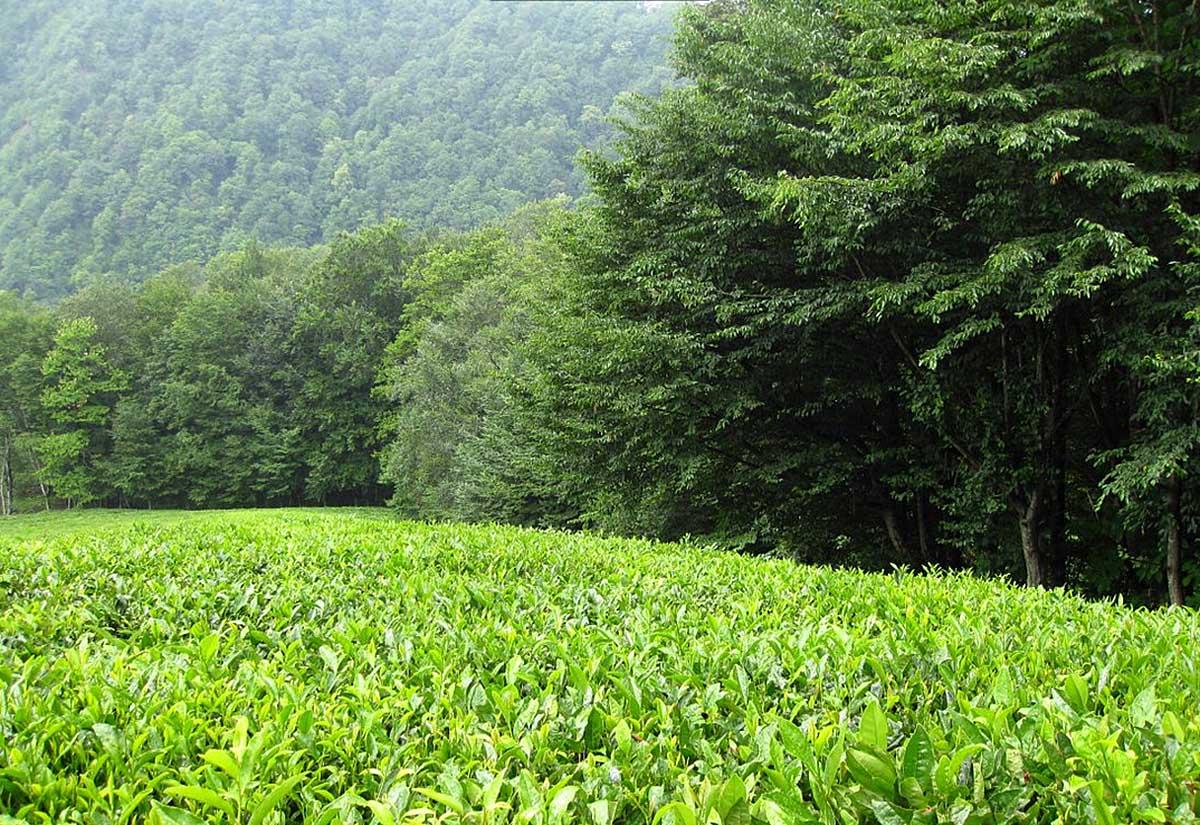 Мацестинская чайная плантация в Адлере, Краснодарский край