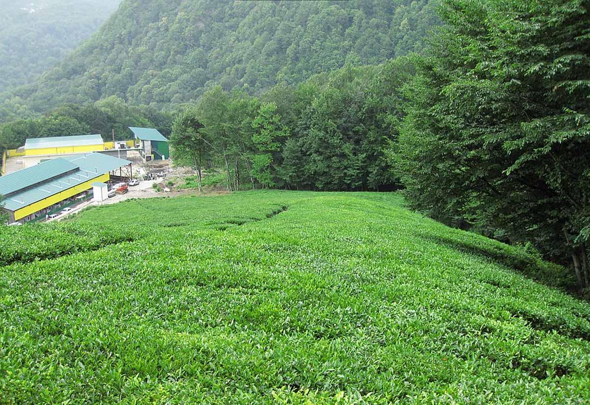 Мацестинская чайная плантация в Адлере