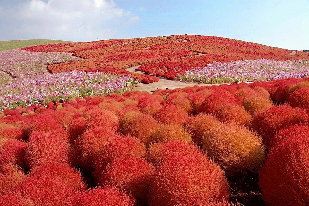 красные кохии, Hitachi Seaside Park in Hitachinaka, Japan