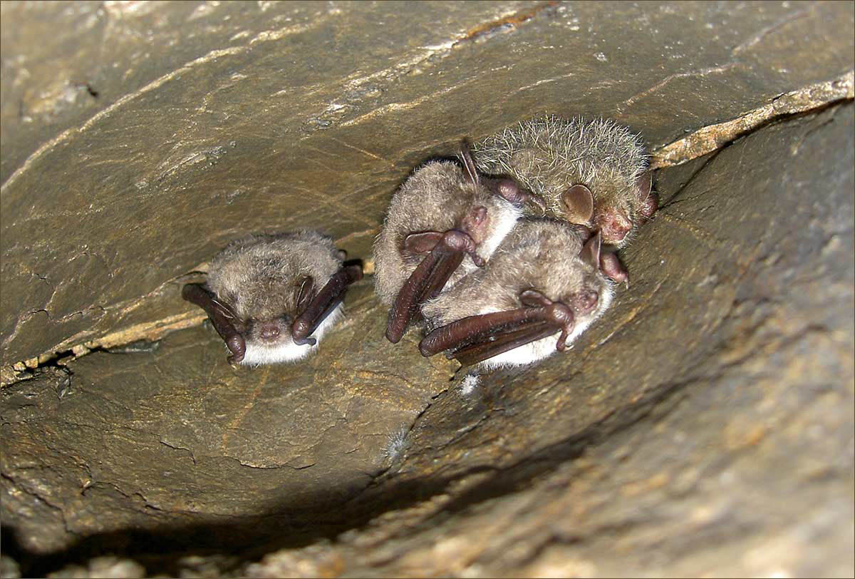 летучие мыши в Барсуковой пещере