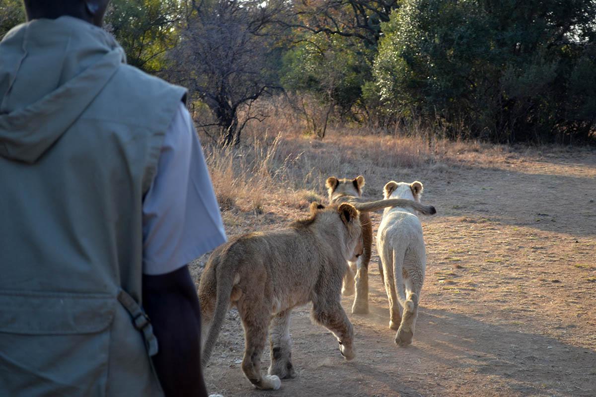 львиное сафари в заповеднике Укутула