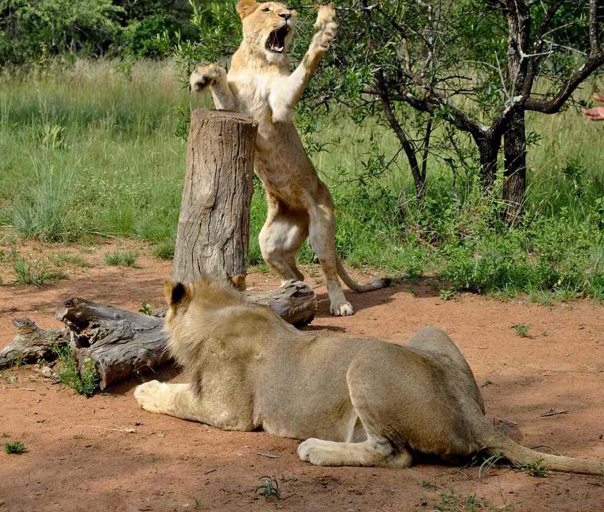 львиные игры в заповеднике Укутула