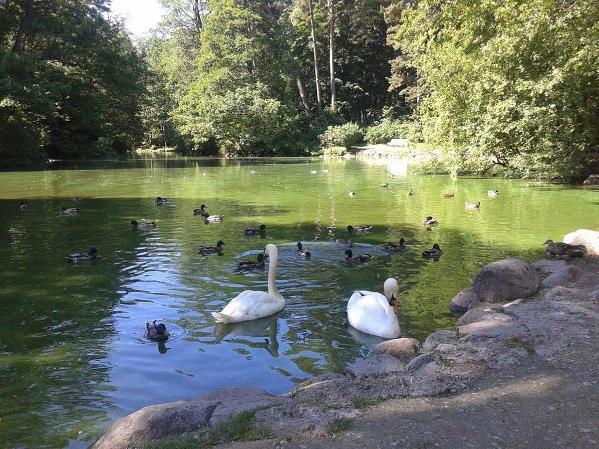 пруд с лебедями в ботсаду Паланги