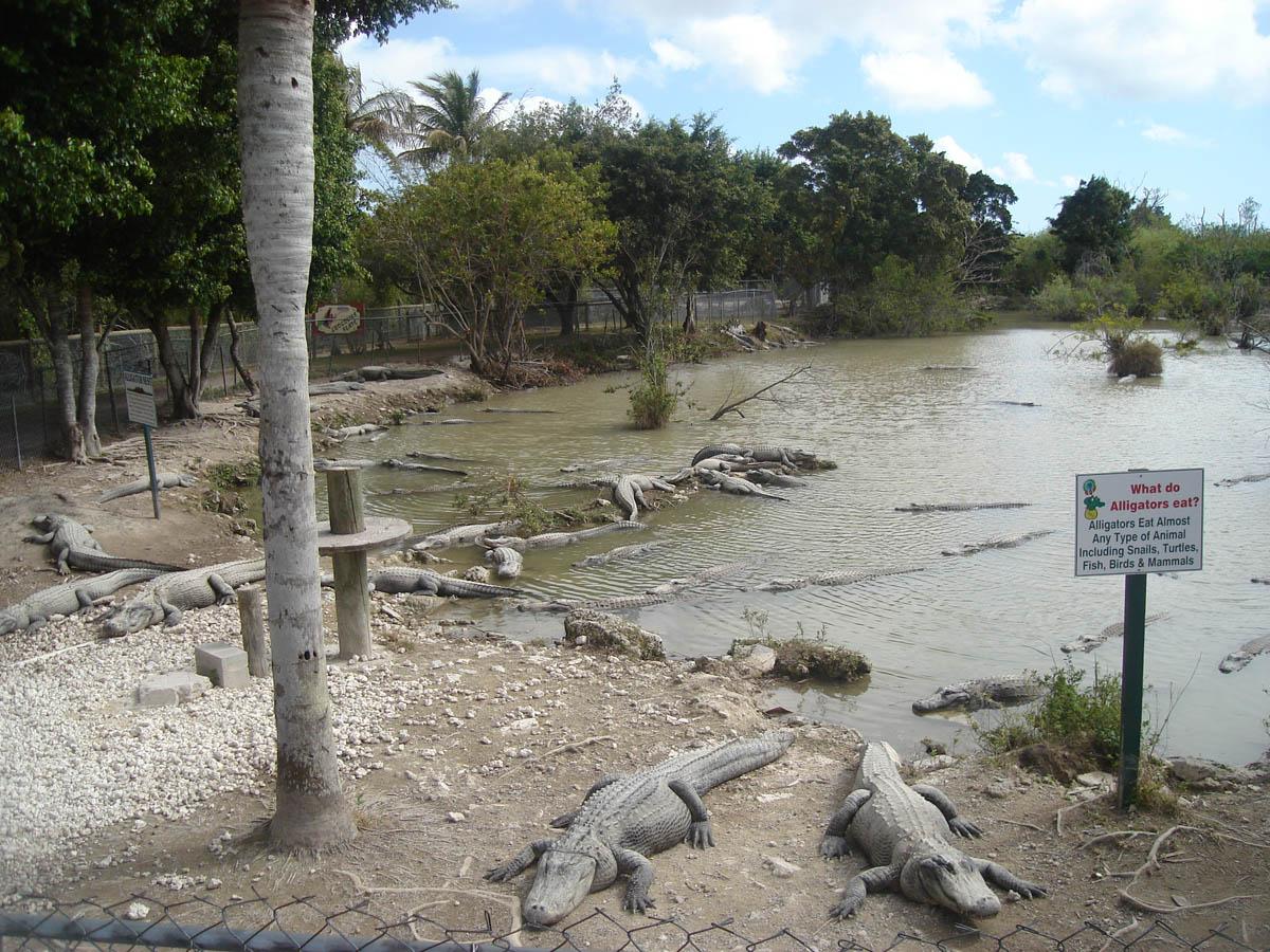 аллигаторы в нацпарке Эверглейдс, США