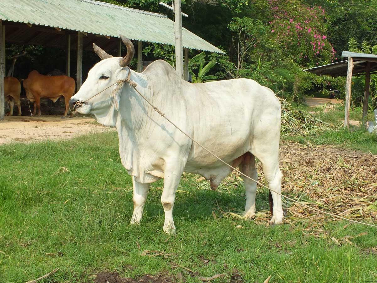 горбатая корова