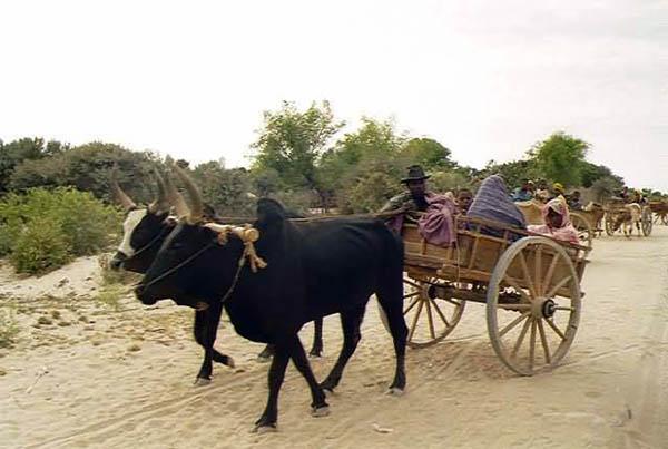 коровы зебу