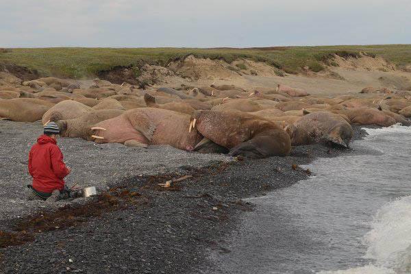 лежбище моржей на Чукотке