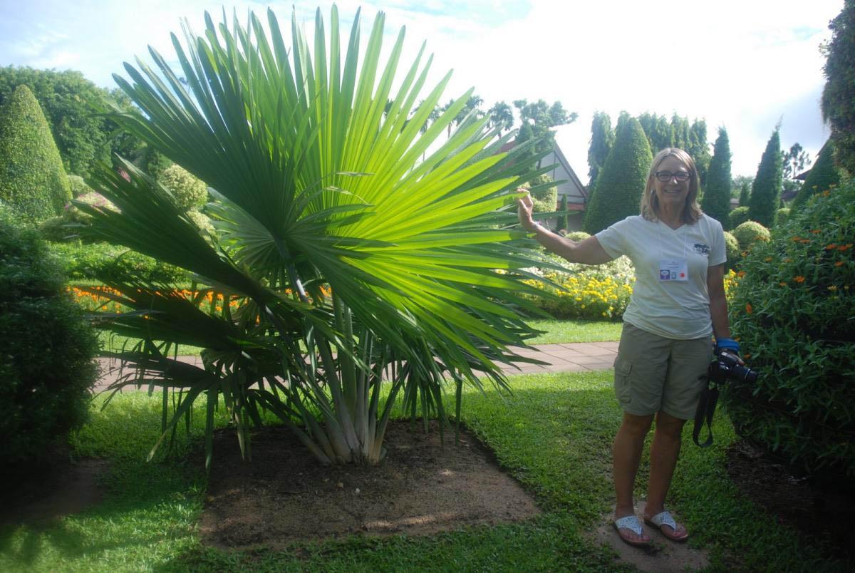 пальма Tahina spectabilis
