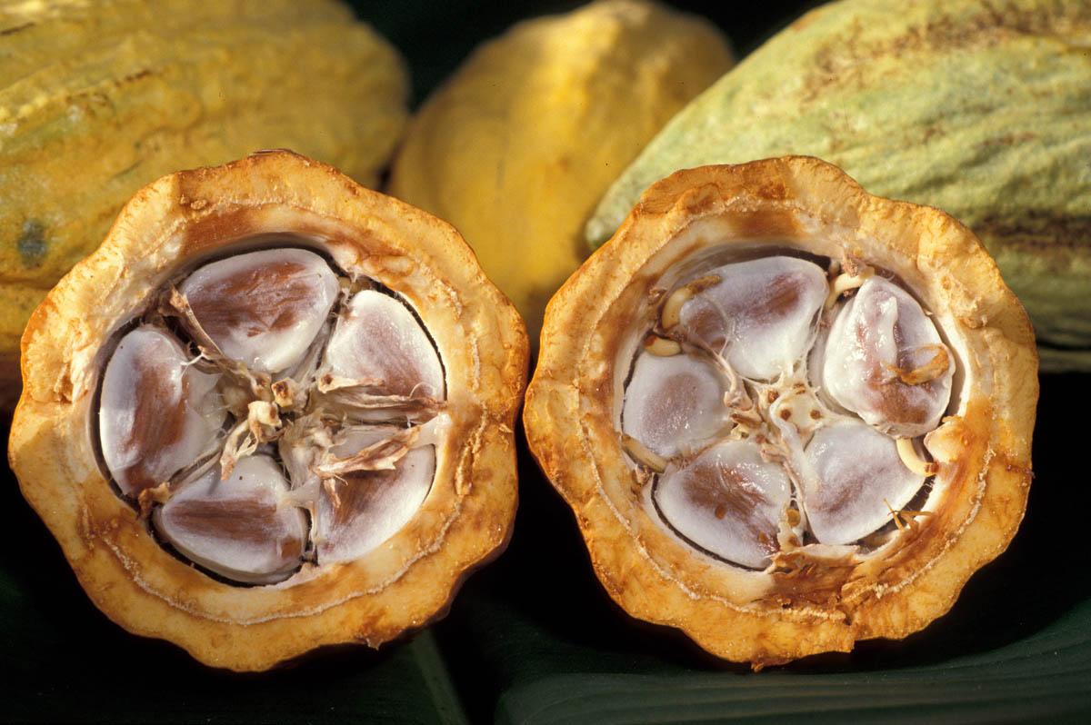 плод какао в разрезе