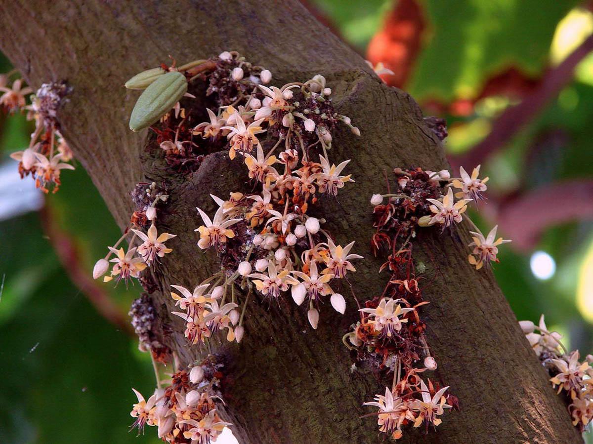 цветение какао