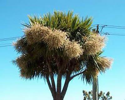 цветение пальмы Tahina spectabilis