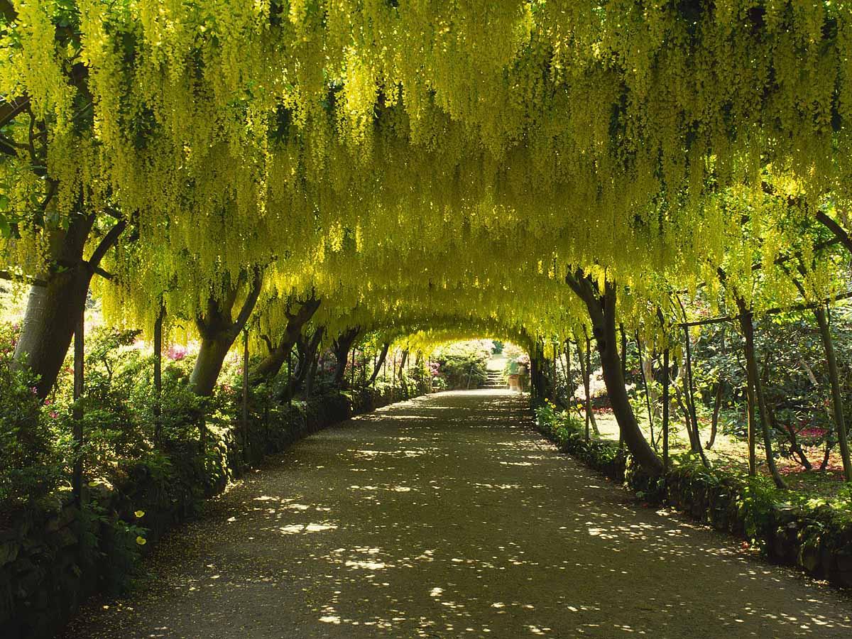 Laburnum Arch Bodnant Garden, Gwynedd, Wales