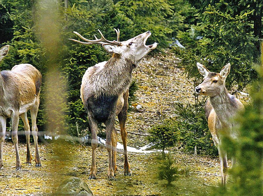 олени в Карпатском Нацпарке
