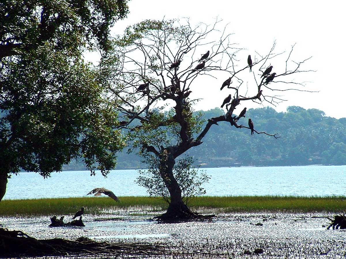 river colony of birds, Chapora, Goa, India