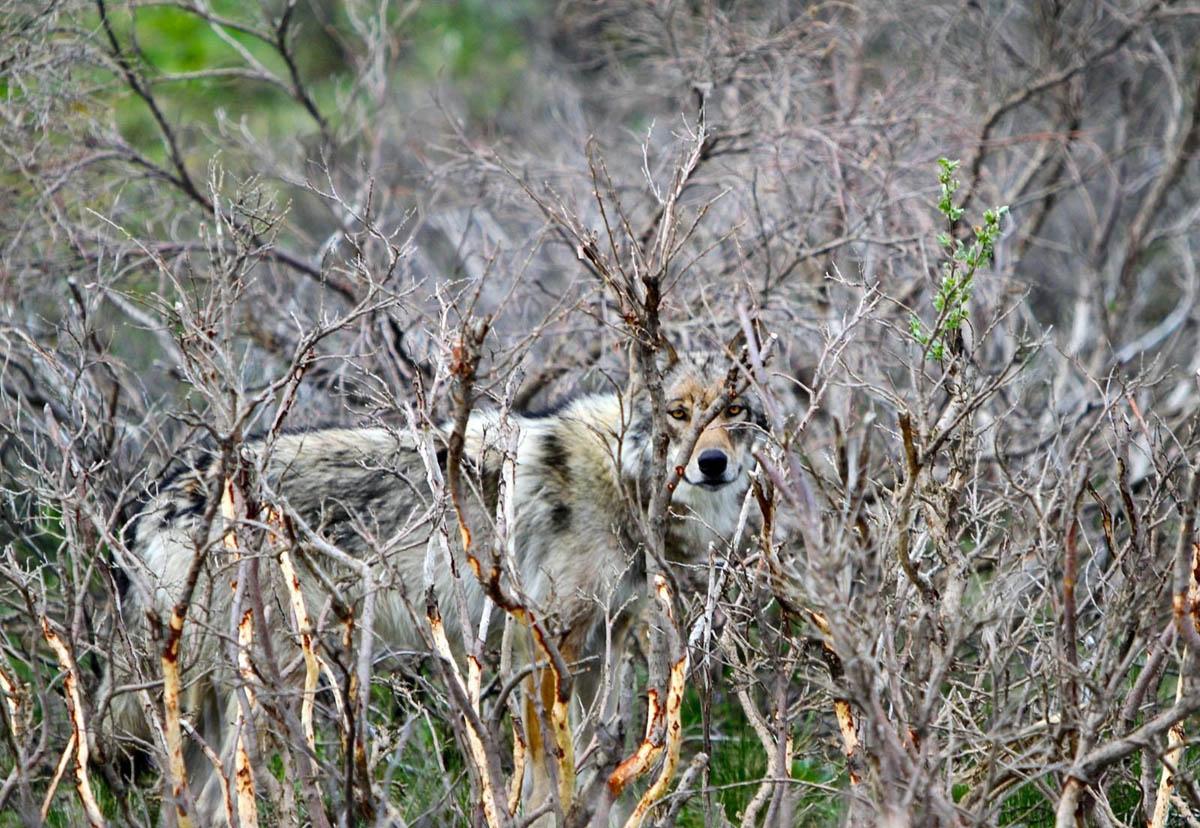 волк в Нацпарке Денали