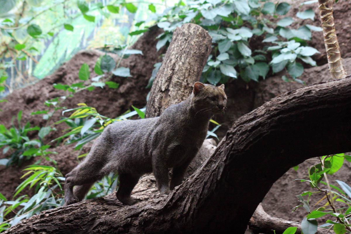 Jaguarundi, Zoo, Berlin