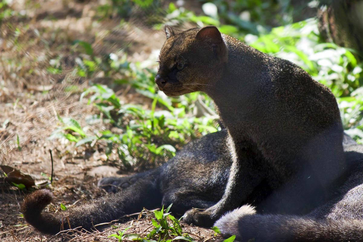 Puma yagouaroundi, melanism