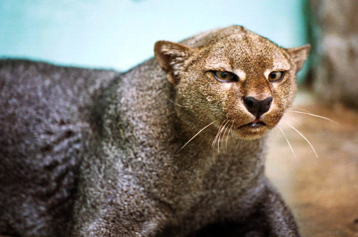 Puma yaguarondi