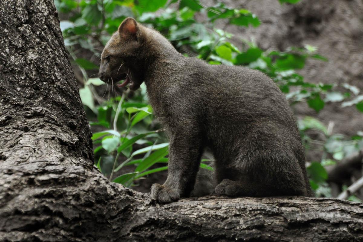 Yaguarondi kitten