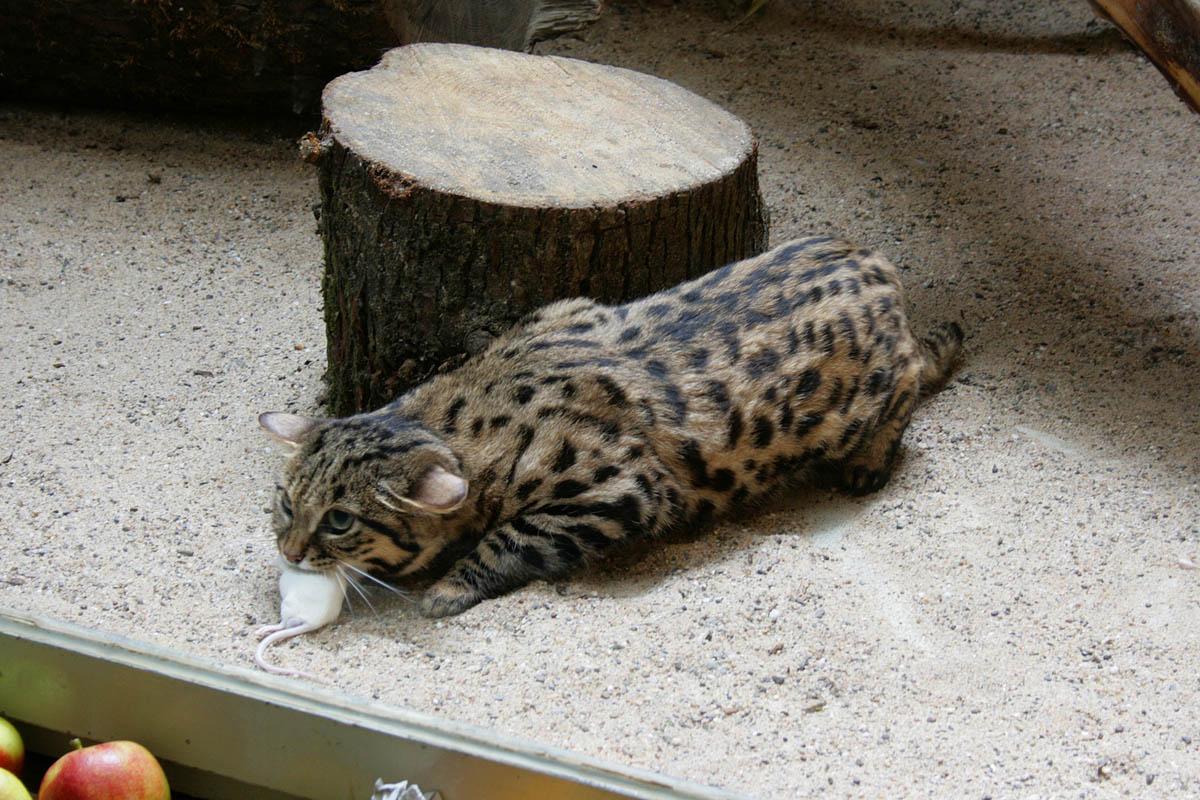 черноногая кошка с уловом