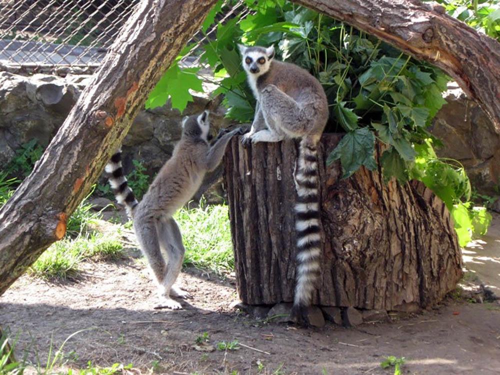 лемуры в Пензенском зоопарке