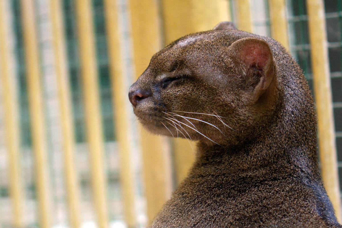 ягуарунди в профиль