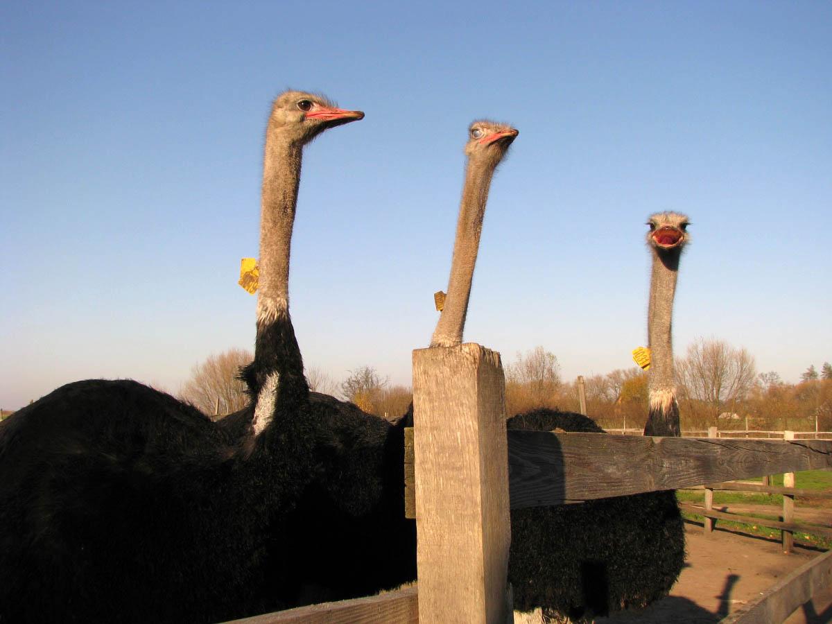 Ясногородская страусиная ферма, Киев, Украина