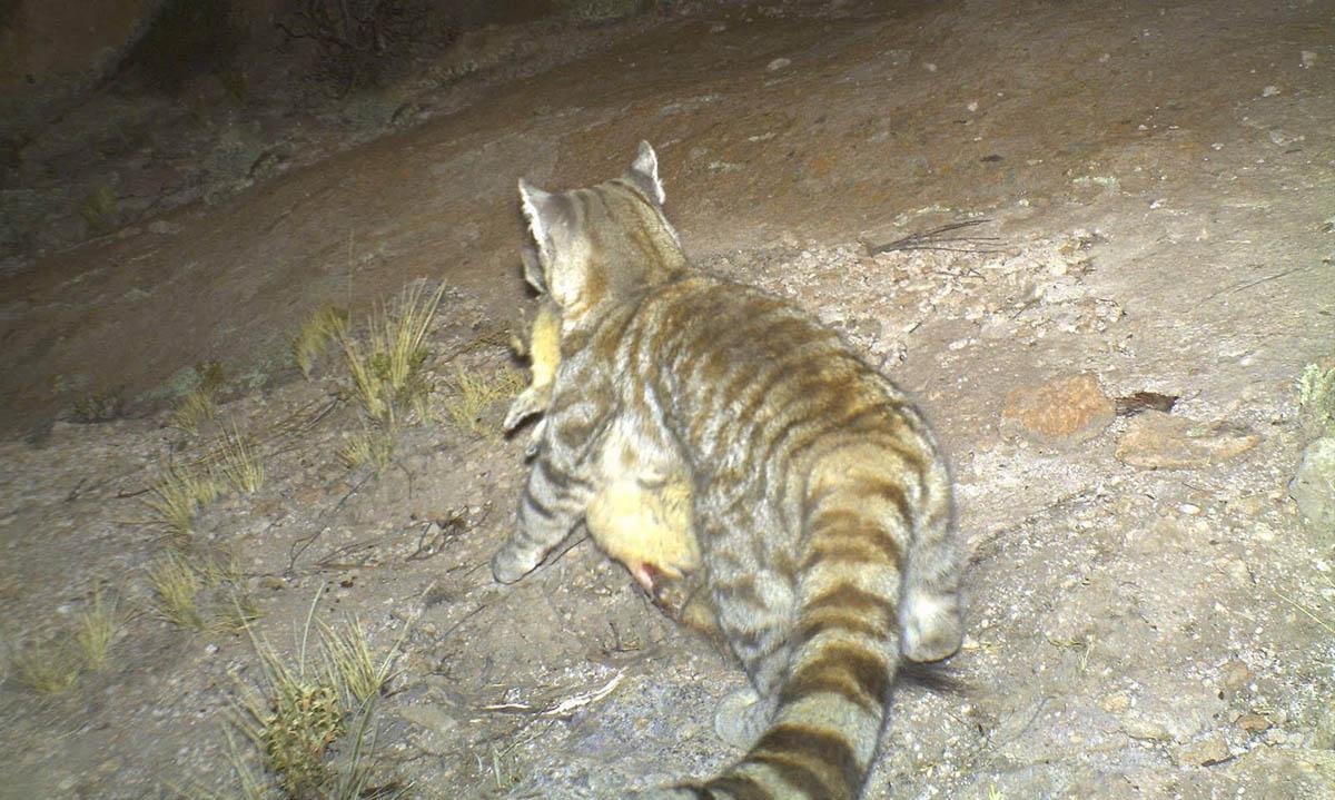 андская кошка с добычей
