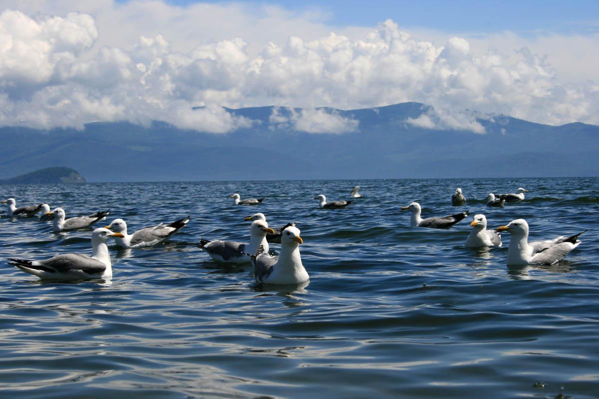 чайки на Чивыркуйском заливе