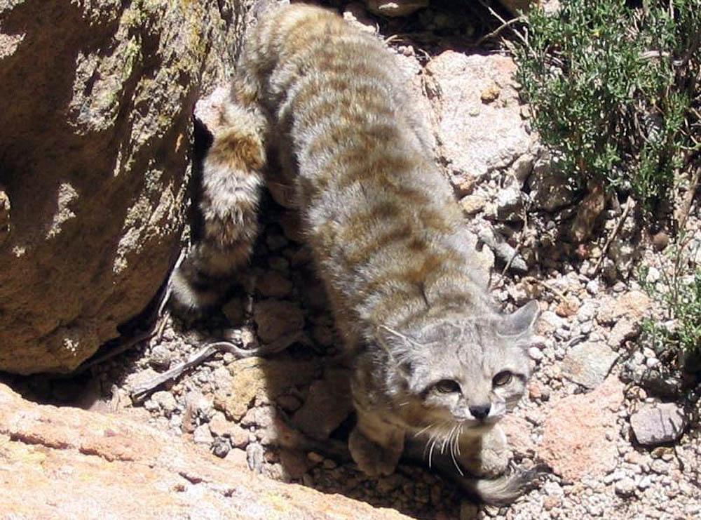 lucherini andeancat